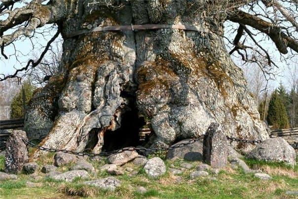 Дуб-священное-дерево-славян